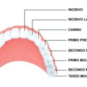 nome dei denti e struttura